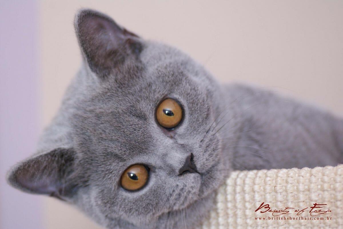 Britanska kratkodlaka mačka plava Nea 04