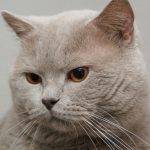 British shorthair cat Oziris Beauty of Freya