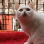 Britanska kratkodlaka mačka bjela Avalanche