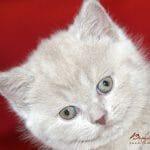 Britanski kratkodlaki mačić Vonka Beauty of Freya