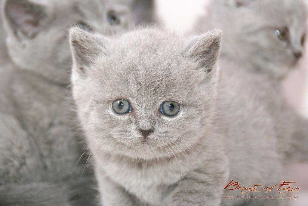 British Shorthair - Beauty of Freya