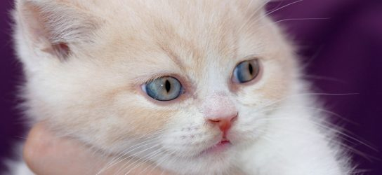 British shorthair kitten cream bicolor Urban