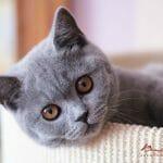 Britanska kratkodlaka mačka plava Nea 03