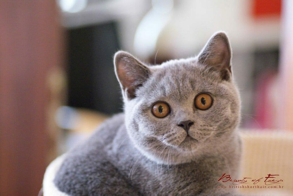 British shorthair cats - Beauty of Freya