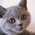 Britanska kratkodlaka mačka plava Nea 01