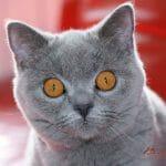 Britanski kratkodlaki mačak plava Tiger 05