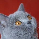 Britanski kratkodlaki mačak plava Tiger 02
