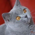 Britanski kratkodlaki mačak plava Tiger 01