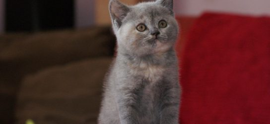 British shorthair kitten blue tortie
