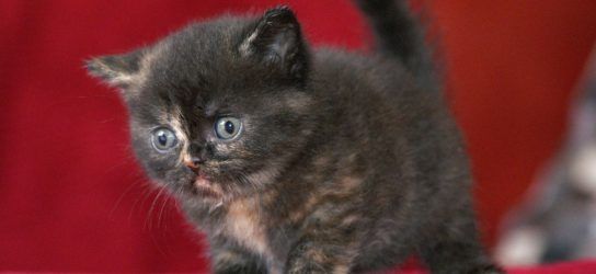 British shorthair kitten black tortie