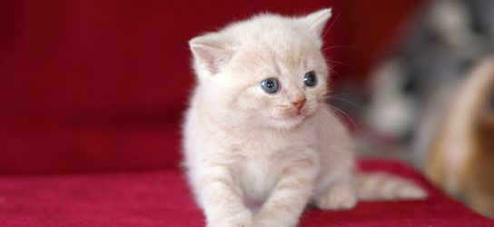 British shorthair kitten cream