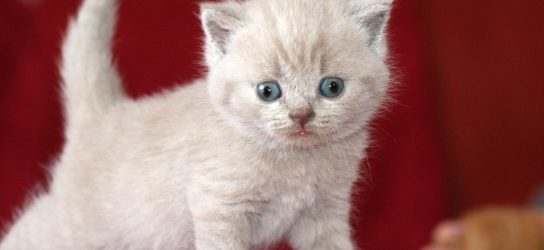 British shorthair kitten lilac