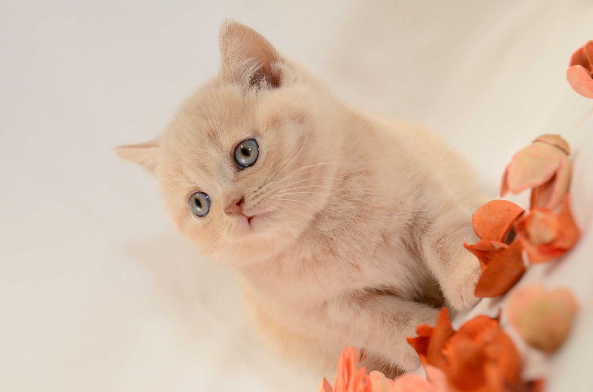 sićušna lila maca